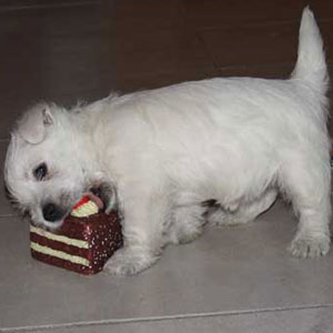 I West Highland White Terrier Dei Castelli In Aria Alimentazione